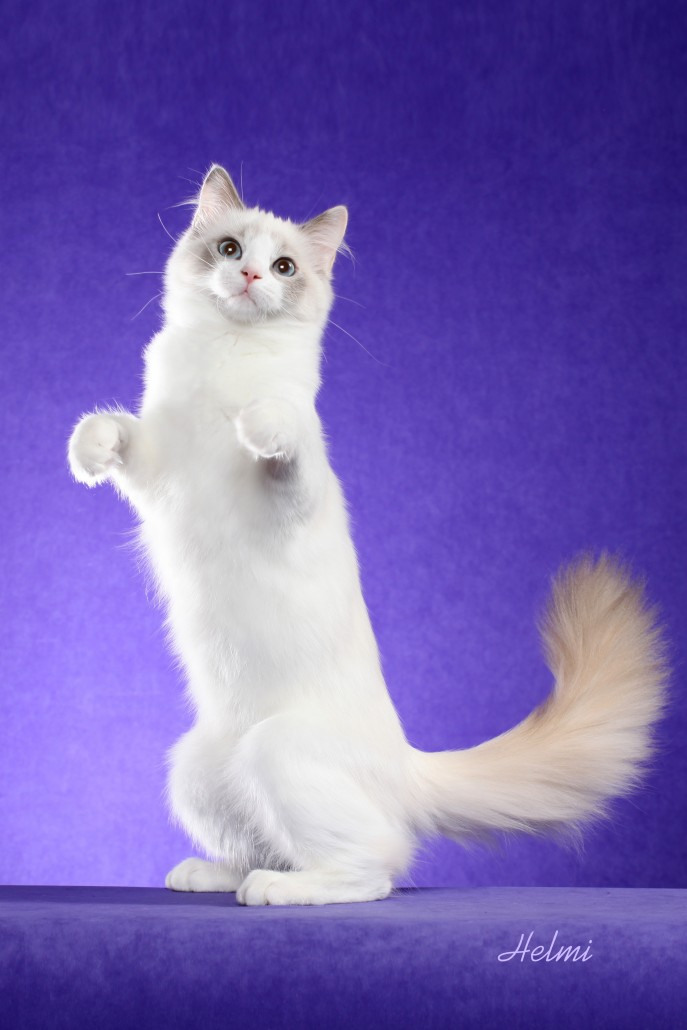 Copper Penny Ragdoll Cat in Prairie Dog Pose