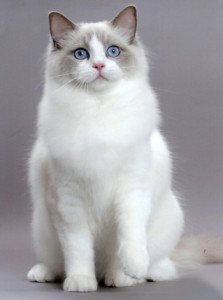 White and grey Ragdoll cat looking directly at you.