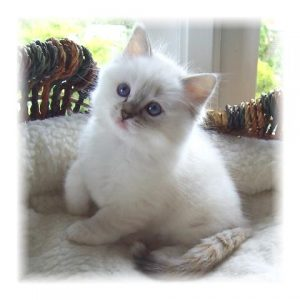 Ragdoll Cats and Kittens For Sale - Bakerview Rags