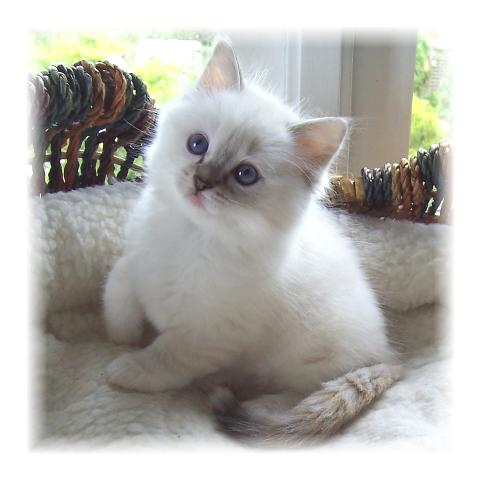 Ragdoll Cats And Kittens For Sale Bakerview Rags