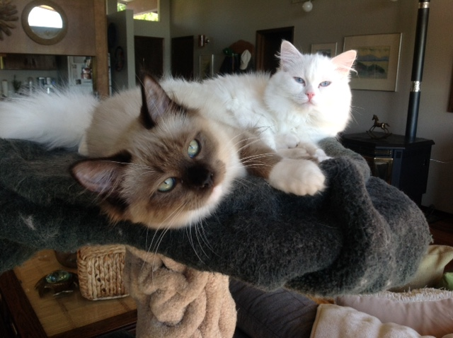 All About Ragdoll Cats  Personality, Color, Size and